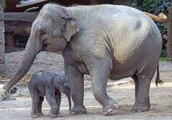 animales con peligro de extincion los elefantes
