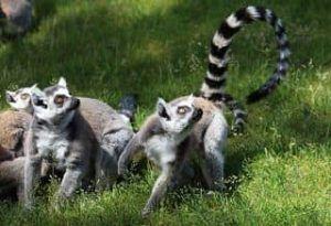 lemur cola de anillada