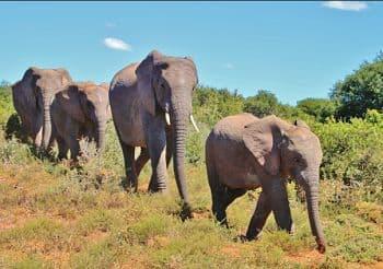 habitat del elefante africano