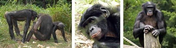 el mono bonobo es muy inteligente