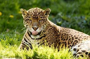 el jaguar caracteristicas