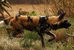 El perro africano salvaje