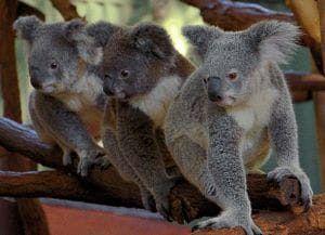 depredadores de los koalas