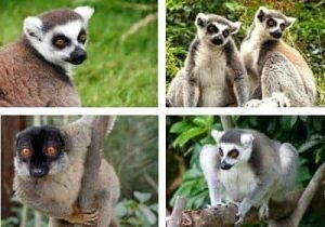 tipos de lemures en madagascar