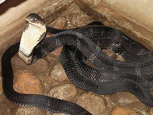 informacion sobre la cobra rey