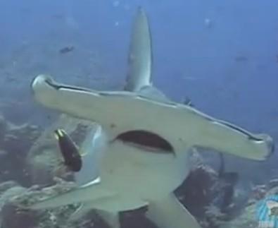 El Tiburón Cabeza de Martillo