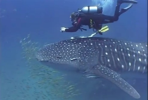 El gentil Tiburón Ballena