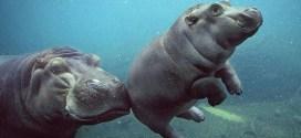 Una Hipopótamo empujando a su bebé