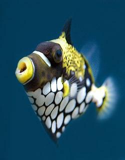pez ballesta payaso