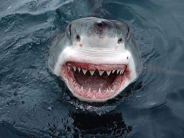 Tiburón Blanco|animales acuaticos