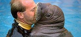 Beso con una Morsa