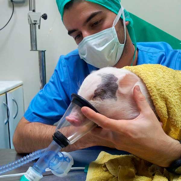 Pablo anestesiando a un cerdito
