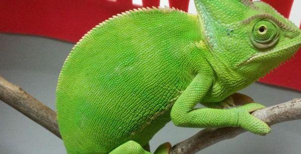 Imagen cirugía a un camaleón del Yemen