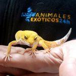 Imagen Gecko Leopardo