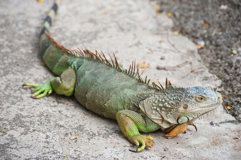 Resultat d'imatges de iguana