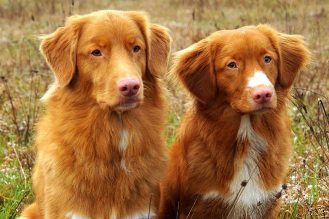 Toller Retriever Puppies