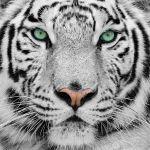 Tigres Blancos