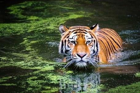 tigre en agua