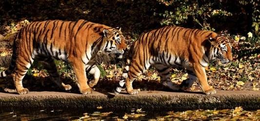 tigres caminando