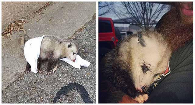 opossum incinta trovato che abbraccia il suo salvatore quasi morto