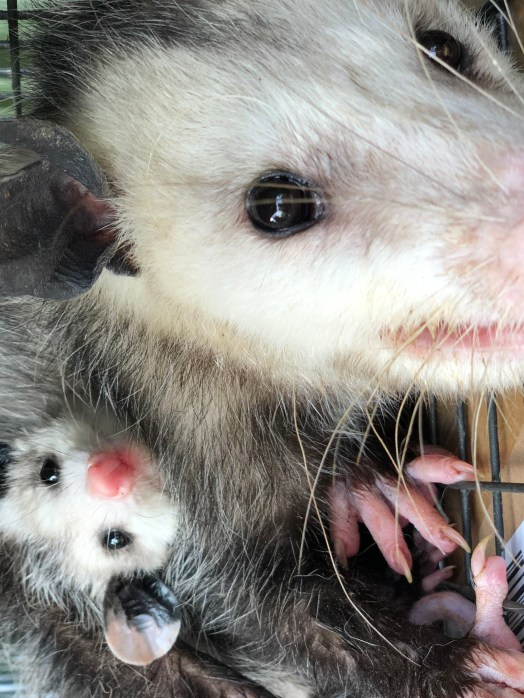 A mother possum in a humane cage trap with young waiting to be relocated.