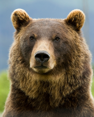https://i1.wp.com/animalfactguide.com/wp-content/uploads/2013/01/grizzlybear-2.jpg