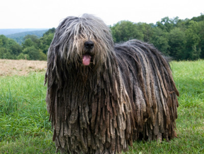 Funny sheepdog breed with large dreadlocks all over body that reaches the floor.