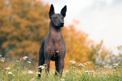 Mexican Hairless dog is a funny dog with no hair so all you see is skin.