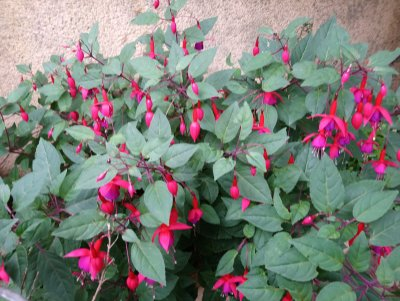 Photograph of a purple and pink fuchsia in full bloom in September.