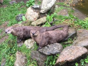 two otters relaxing