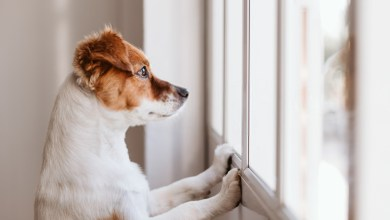 Top 7 Heartworm Symptoms Of Dogs- You Must Know About