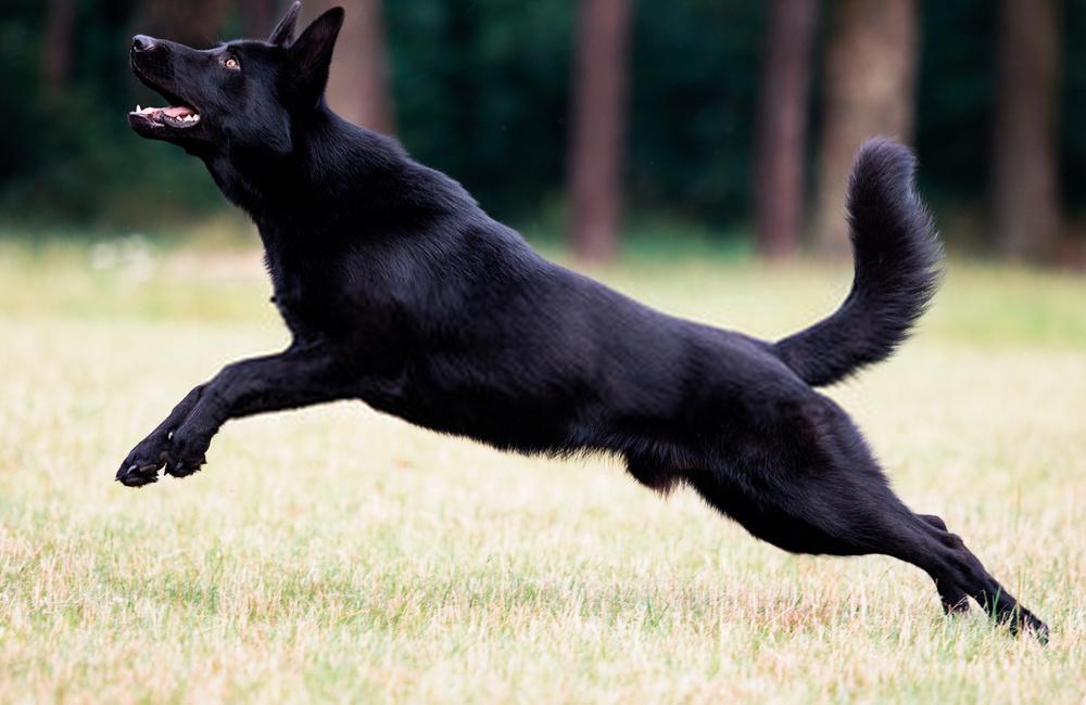 All Black German Shepherd -Outstanding Dog Breed Research