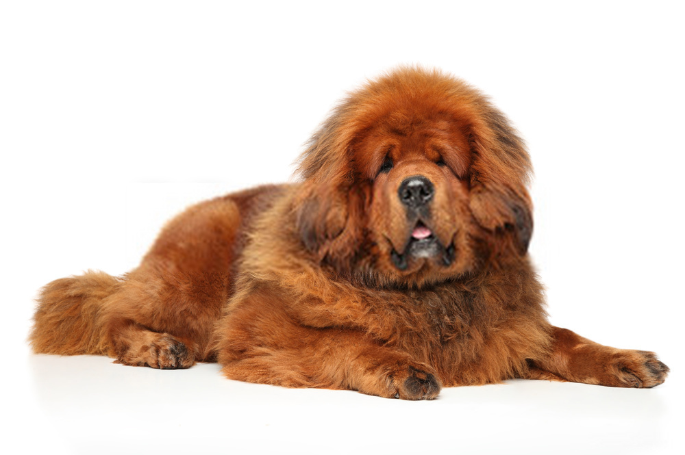 Big Dogs Huge Paws |Amazing Dog Breeds with Long Paws