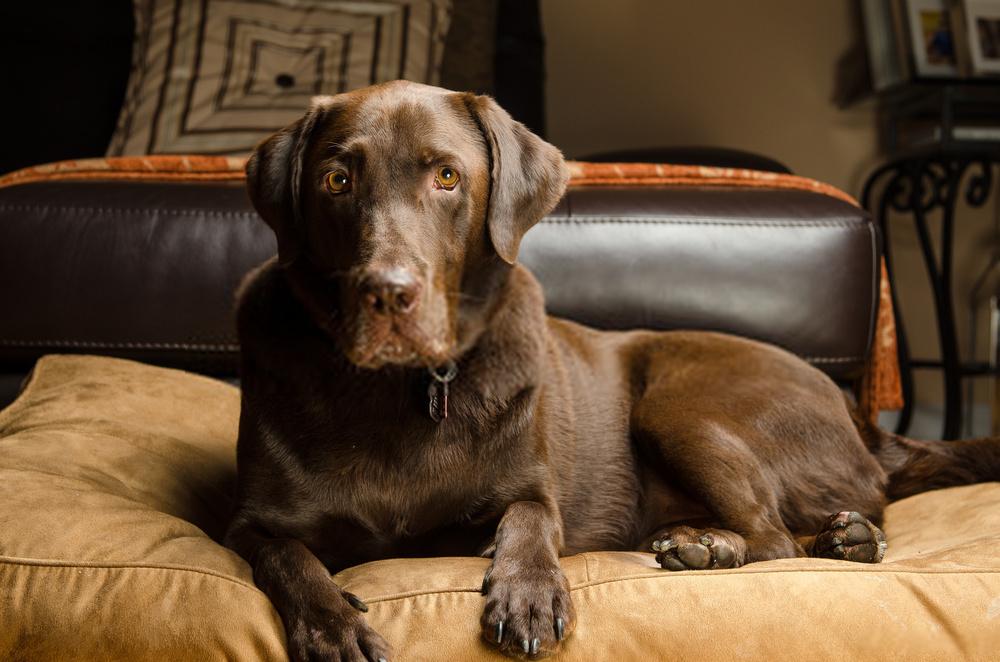 Should I Adopt Chocolate Lab Dogs? |Detailed Guide On Labrador Retriever