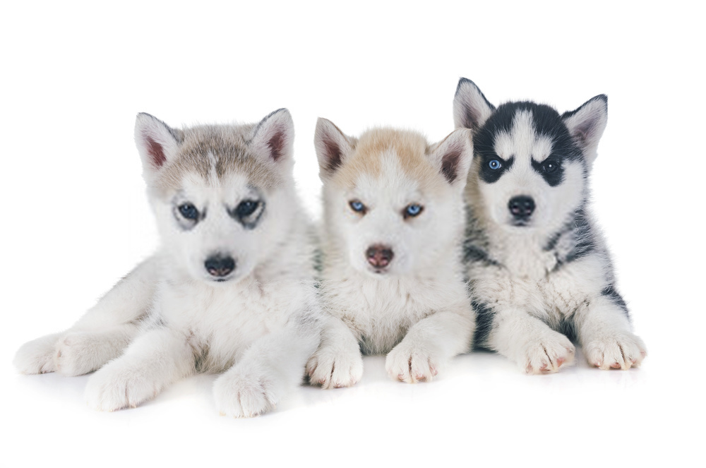 Husky Puppies Information And Siberian Husky Dogs Detailed Guide