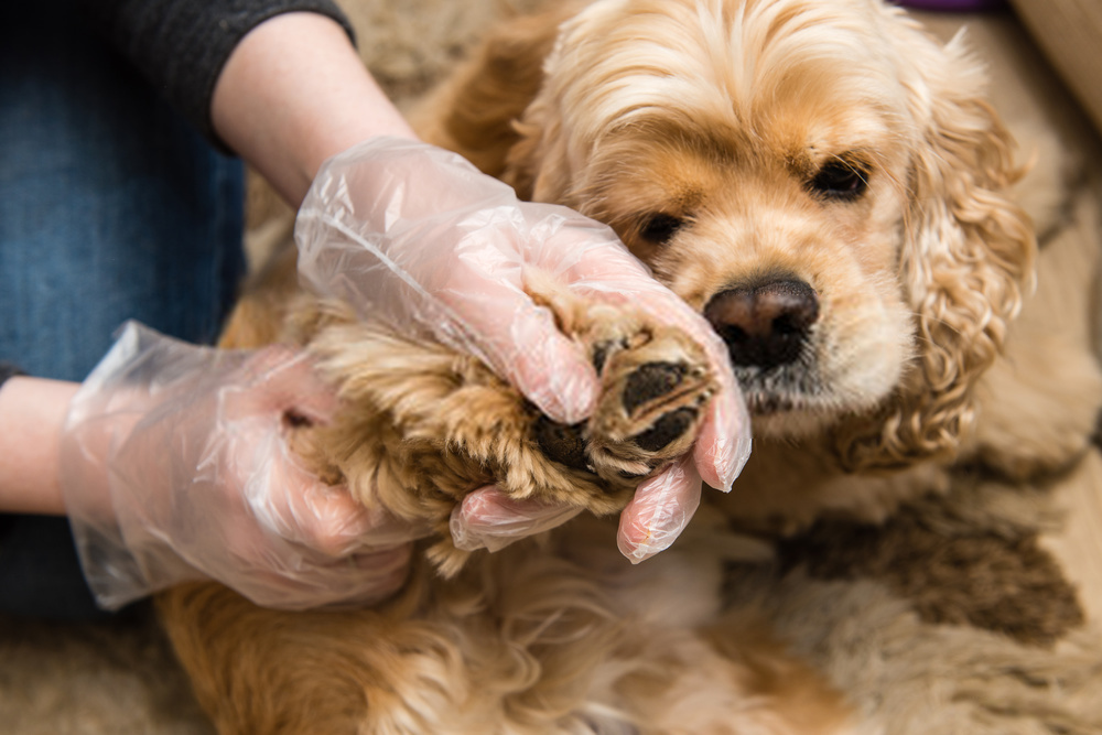 Tapeworm Treatment For Dogs--Amazing Guide On Canine Tapeworms