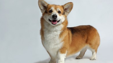 What To Expect From Adorable Shiba Inu Corgi Mix?