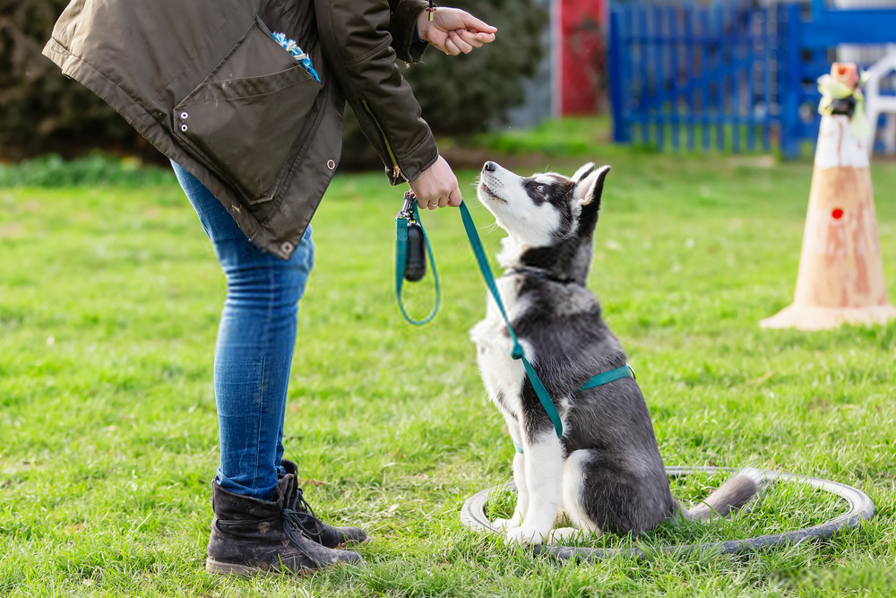 How To Potty Train A Husky Effectively