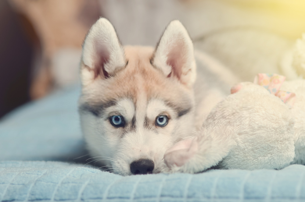 5 Questions About White Husky Blue Eyes