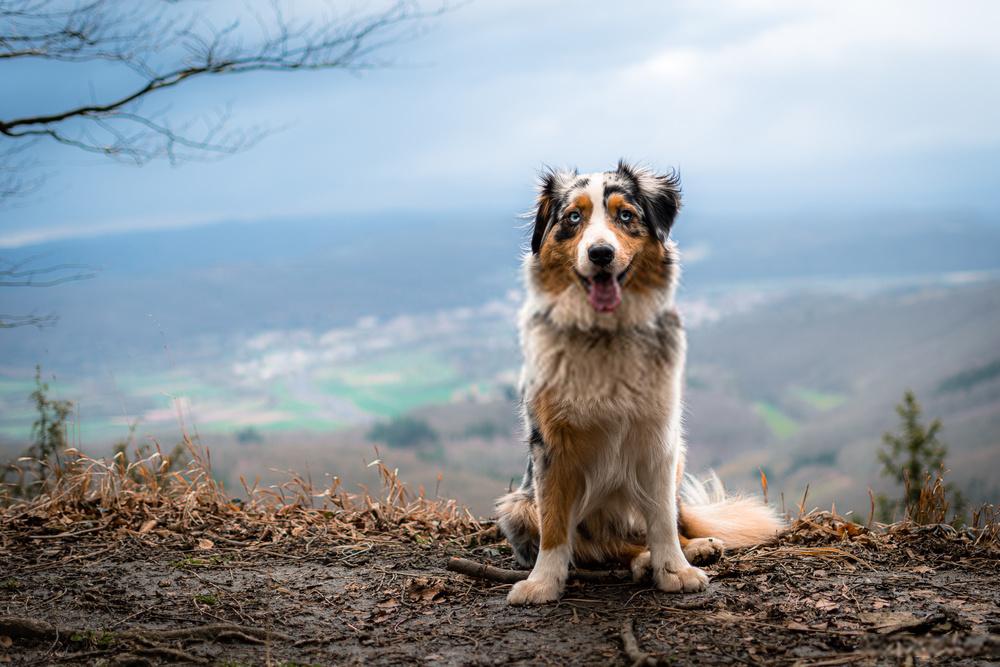 German Australian Shepherd