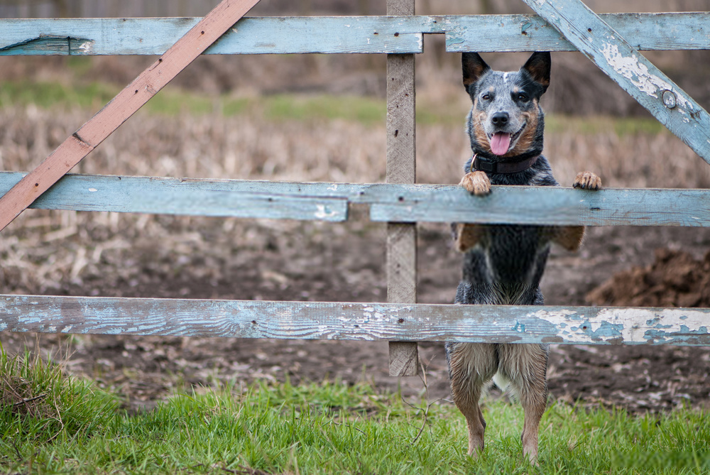 Blue Heeler or Australian Cattle Dogs