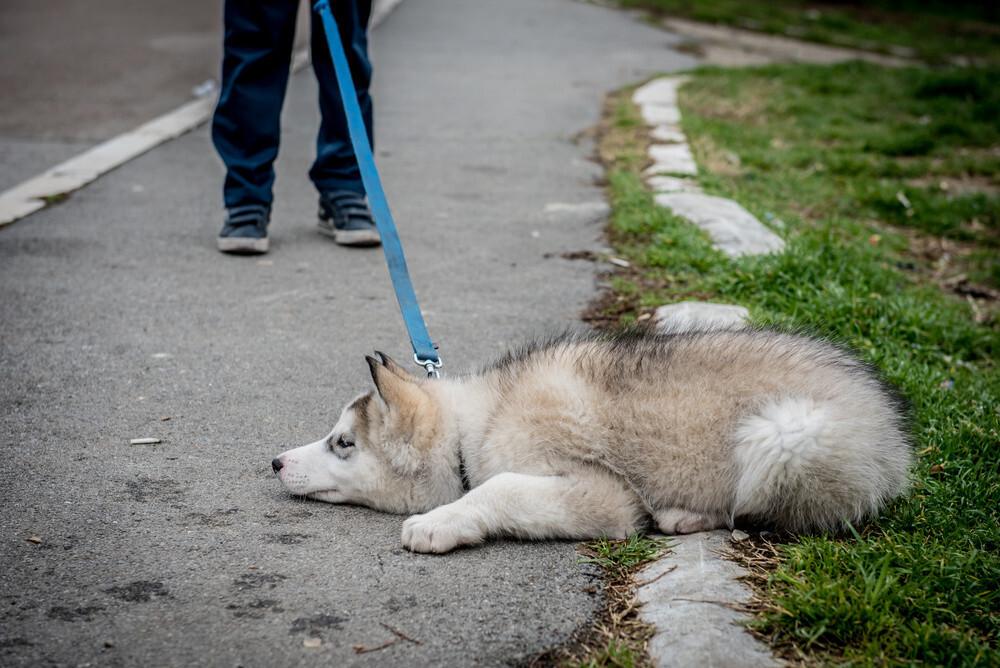 Why are Huskies so stubborn?