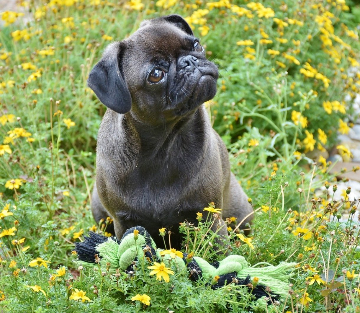 Everything You Should Know Before Buying a Pug