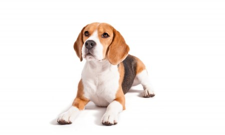 Beagles make great companions