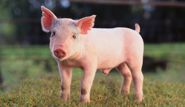 Image result for a picture of a pig
