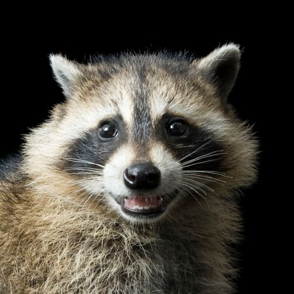 Raccoon history and some interesting facts