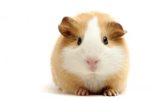 assurance santé cochon d'inde, assurance cochon d'inde devis gratuit