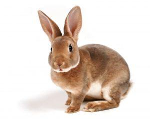 assurance santé lapin, assurance lapin devis gratuit, assurance rongeur, assurance hamster, assurance cochon d'Inde