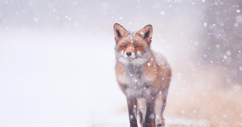 Tuska on tarpeen. Kuvassa kettu lumisateessa.