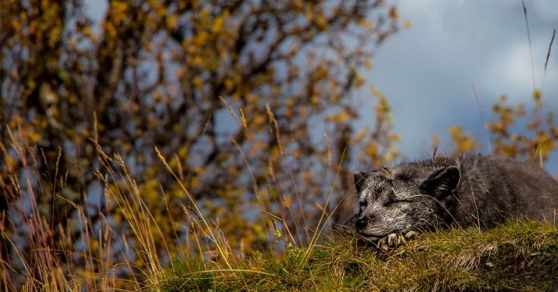 Kettu lepää tyytyväisen näköisenä ruohikolla.